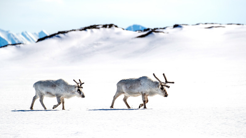 Two reindeer walk across the snow of Svalbard