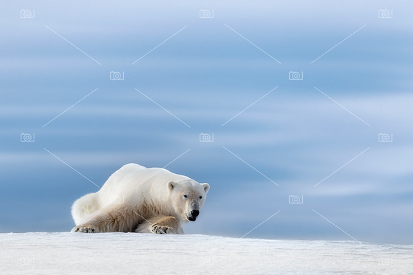 Polar bear crouching on the frozen snow of Svalbard