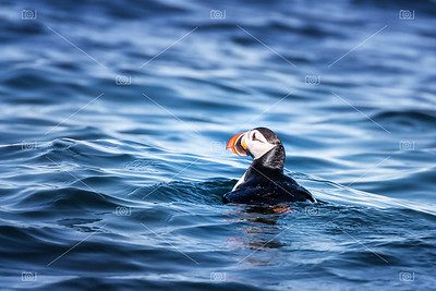 Atlantic puffin bobbing on the cold waters off the coast of Svalbard