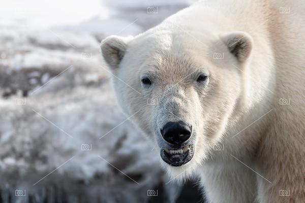 Close up of adult male polar bear, Svalbard.