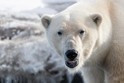 Close up of adult male polar bear, Svalbard.