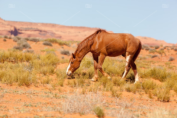 Wild horse in Monument Valley