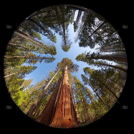 Giant Sequoia Fisheye