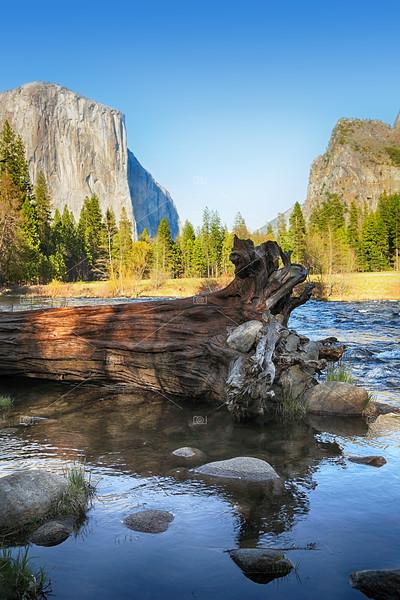 Fallen tree in Merced river