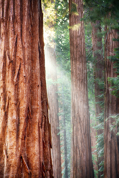 Redwoods, Yosemite