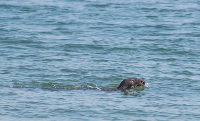 """""""OK, warnings suggest that one not swim near seals, who frequently serve as shark bait. Oops!"""""""