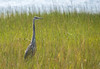 Big bird, one of several Great Blue Heron shots from a visit to Lieutenant's Island in Wellfleet
