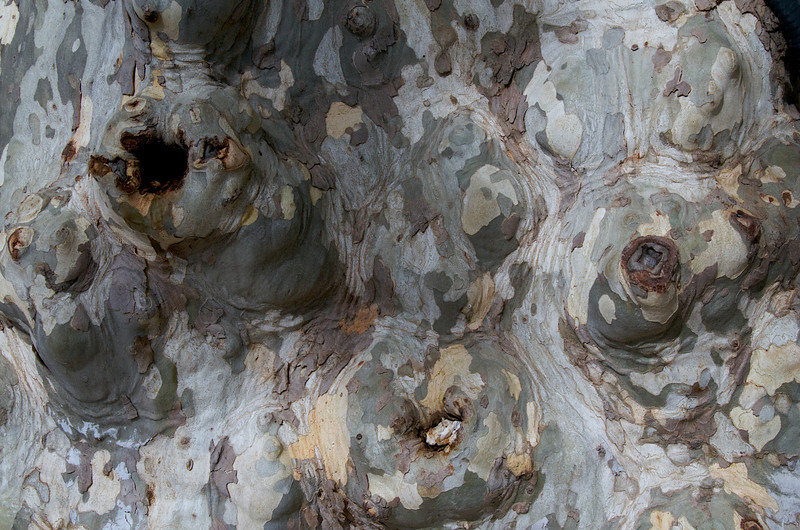 Trunk of a plane tree