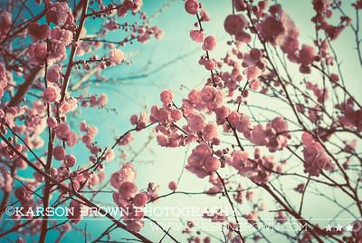 Cherry Blossoms - North Carolina, 2009