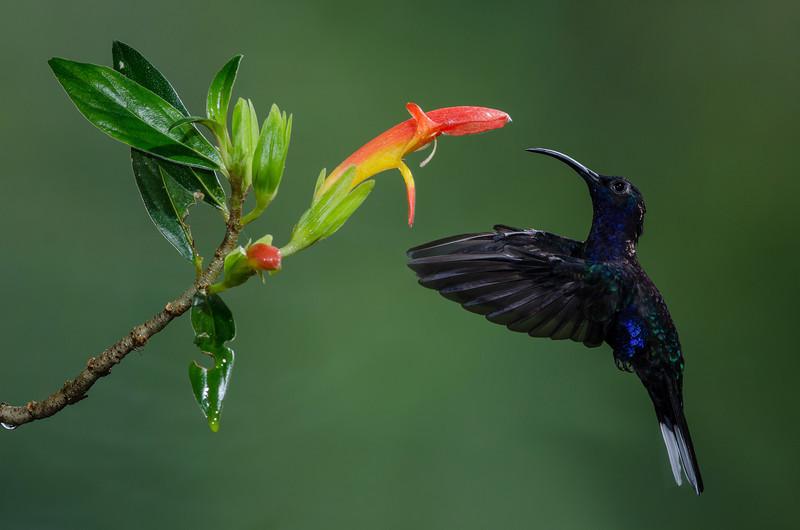 NAb3711 Violet Sabrewing Hummingbird (Campylopterus hemileucurus), Bosque de Paz, Costa Rica