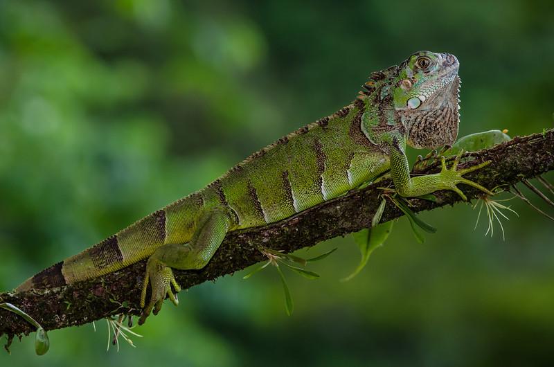 NAc672 Green Iguana (Iguana iguana), Fortuna, Costa Rica