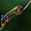 NAc559 Red-eyed Tree Frog (Agalychnis callidryas), Fortuna, Costa Rica