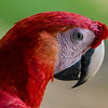 NAb3441 Scarlet Macaw (Ara macao), Selva Verde, Costa Rica
