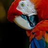 NAb228 Scarlet Macaw (Ara macao), Selva Verde, Costa Rica