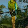NAb4800 Great Green Macaw, (Ara ambiguus), Selva Verde, Costa Rica