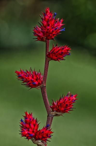 NBa1054 Prickly Red Flower Spike, San Jose, Costa Rica