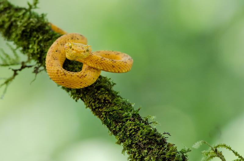 NAc398 Yellow Eyelash Viper (Bothriechis schlegelii), Fortuna, Costa Rica