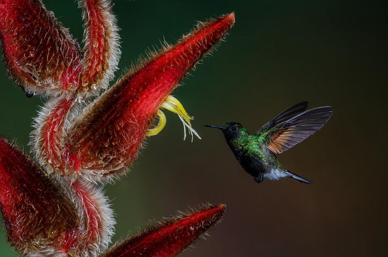 NAb4298 Black-bellied Hummingbird (Eupherusa nigriventris), male, Bosque de Paz, Costa Rica