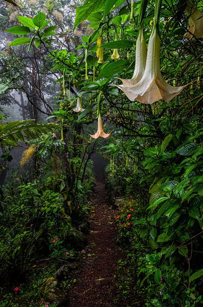 WAb365 Angel's Trumpet Flowers (Datura arborea), Sarchi, Costa Rica