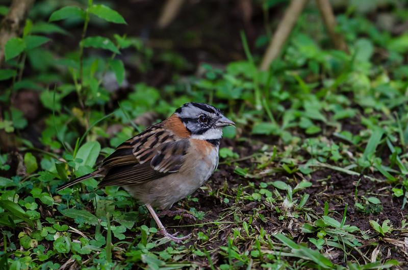 NAb3842 Rufous-collared Sparrow-(Zonotrichia capensis), Bosque de Paz, Costa Rica