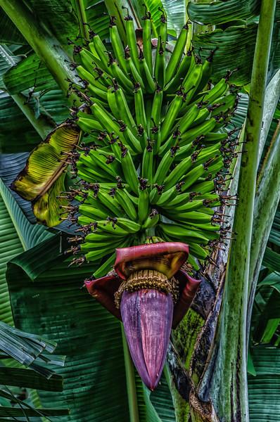 NBb49 Banana Flowers (Musa acuminata), San Jose, Costa Rica