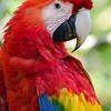 NAb3392 Scarlet Macaw (Ara macao), Selva Verde, Costa Rica