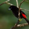 NAb4652 Passerini's Tanager (Ramphocelus passerinii), male, Fortuna, Costa Rica