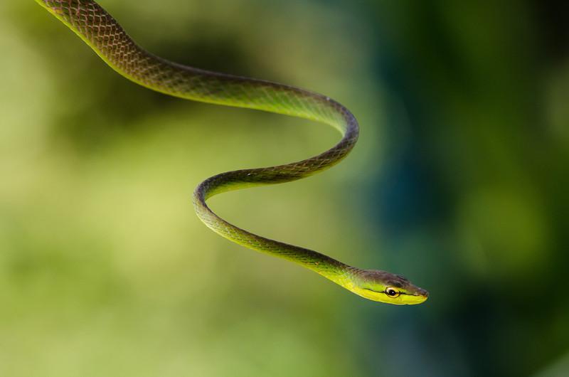 NAc392 Green Short-Nosed Vine Snake (Oxybelis brevirostris), Fortuna, Costa Rica