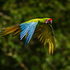 NAb3408 Great Green Macaw, (Ara ambiguus), Selva Verde, Costa Rica