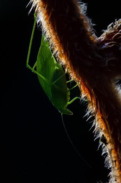 NAd66 Neotropical bush katydid (Microcentrum sp.), male, Selva Verde, Costa Rica