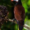 NAb3969 Montezuma Oropendola (Gymnostinops montezuma), Selva Verde, Costa Rica