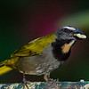 NAb4701 Buff-throated Saltator-(Saltator maximus), Fortuna, Costa Rica