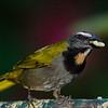 NAb4701 Buff-throated Saltator-(Saltator maximus), Fortuna, Costa Rica