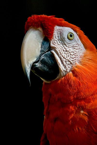 NAb235 Scarlet Macaw (Ara macao), Selva Verde, Costa Rica