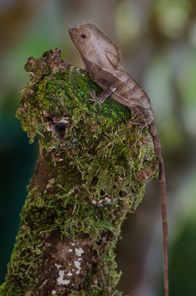 NAc540 Casque-headed Lizard (Corytophanes cristatus), Costa Rica