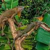 NAc840 Green Iguana (Iguana iguana), Muelle S. Carlos, Costa Rica