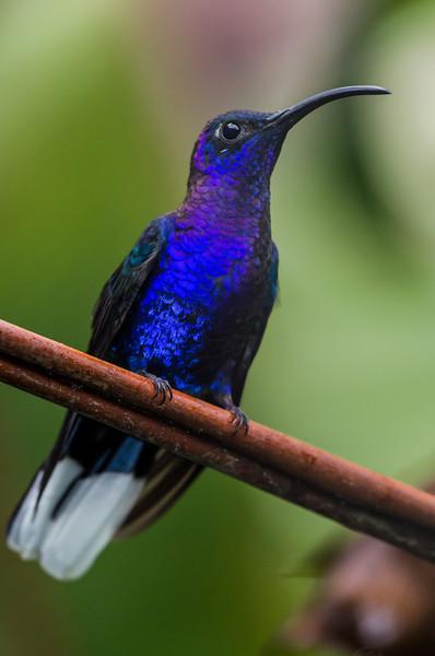 NAb4167 Violet Sabrewing Hummingbird(Campylopterus hemileucurus), Fortuna, Costa Rica