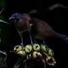NAb3182 Grey-headed Chachalaca (Ortalis cinereiceps), Costa Rica