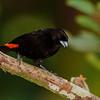 NAb4596 Passerini's Tanager (Ramphocelus passerinii), male, Fortuna, Costa Rica