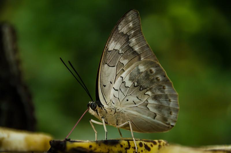 NAd122 Butterfly, Fortuna, Costa Rica