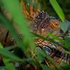 NAc849 Green Iguana (Iguana iguana), Muelle S. Carlos, Costa Rica
