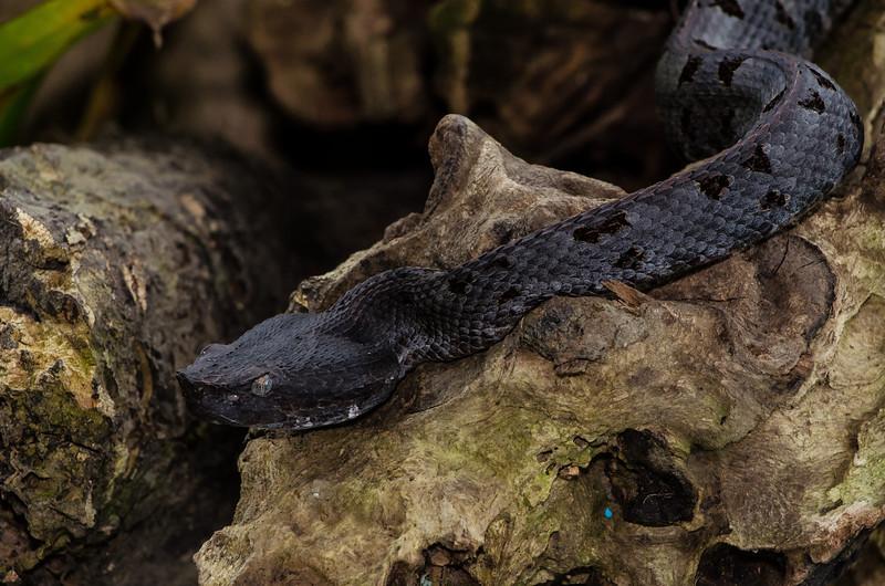 NAc659 Fer-de-Lance (Bothrops asper), female, Fortuna, Costa Rica