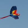 NAb3427 Scarlet Macaw (Ara macao), Selva Verde, Costa Rica
