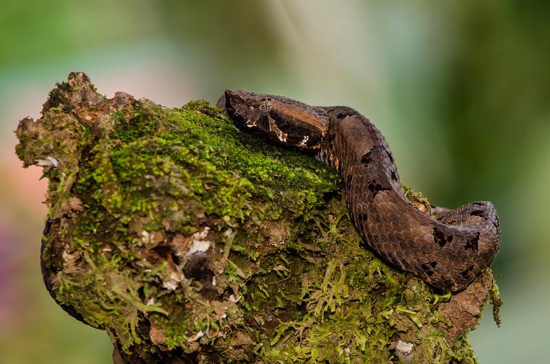 NAc647 Rainforest Hog Nosed Pit Viper (Porthidium nasutum), Fortuna, Costa Rica