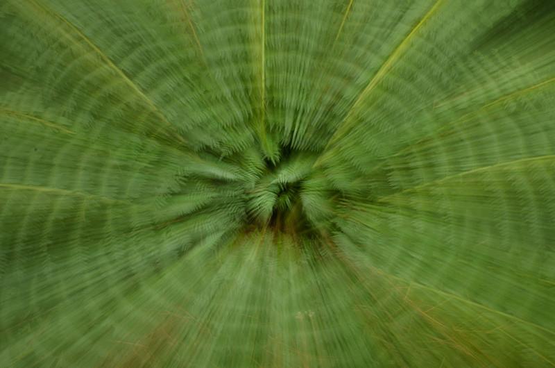 NBb115 Tree Fern (Cyathea costaricensis), Arenal Observatory Lodge, Costa Rica