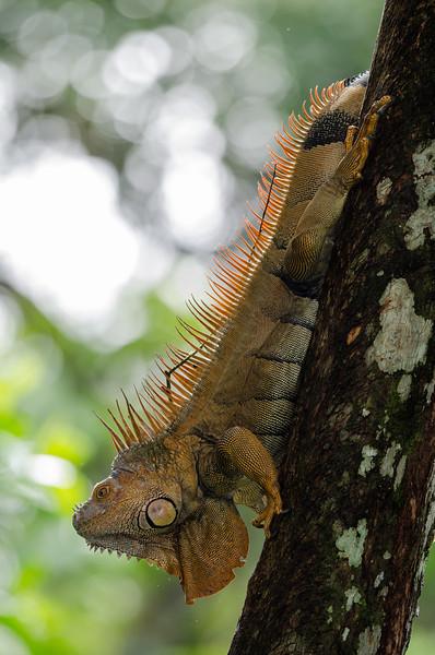 NAc241 Green Iguana (Iguana iguana), Selva Verde, Costa Rica