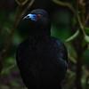 NAb4340 Black Guan (Chamaepetes unicolor), Bosque de Paz, Costa Rica
