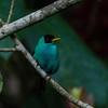 NAb4695 Green Honeycreeper (Chlorophanes spiza), Fortuna, Costa Rica