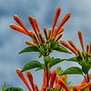 NBa1074 Flaming Trumpet Vine (Pyrostegia venusta), San Jose, Costa Rica