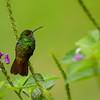NAb4562 Rufous-tailed Hummingbird (Amazilia tzacatl) , Arenal Observatory Lodge, Costa Rica